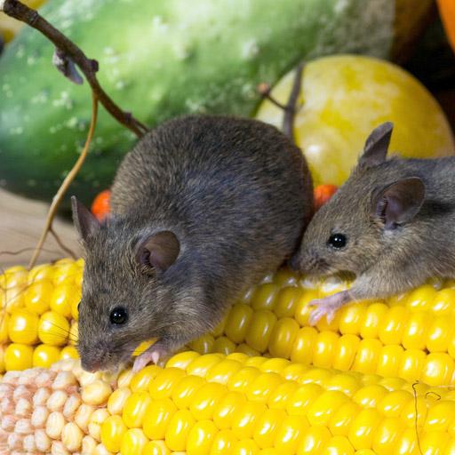 Muizen overlast bestrijden in huis - Westra Ongediertebestrijding
