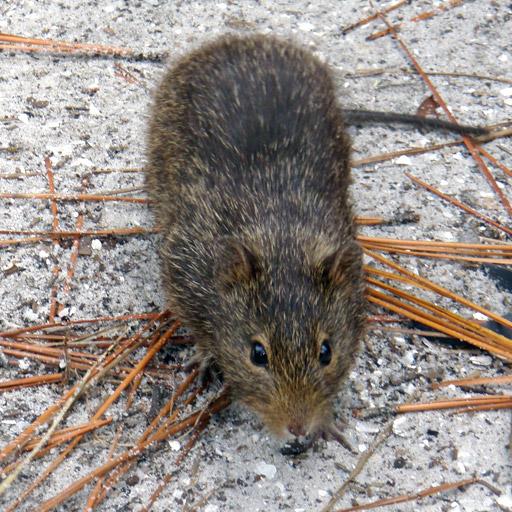 Ratten en knaagdieren overlast bestrijden - Westra Ongediertebestrijding