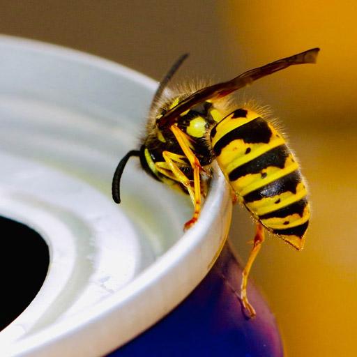 Wespen overlast, wespennest bestrijden, wespensteek - Westra Ongediertebestrijding