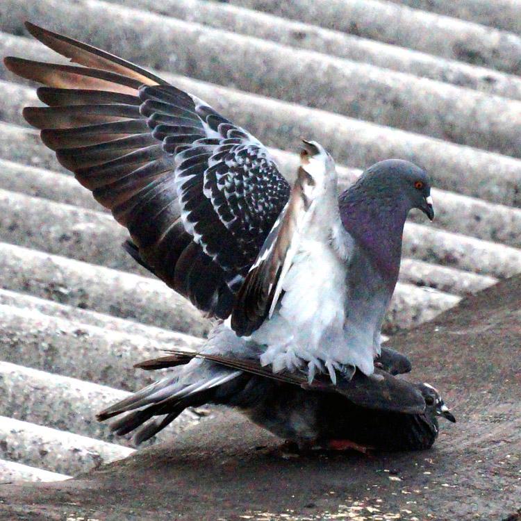 Duiven overlast, vogelpoep, duivennest verwijderen - Westra Ongediertebestrijding